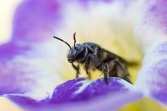 蜂蜜蜂宏指令 图库摄影