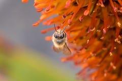 蜂蜜蜂宏观照片在橙色花的 免版税库存照片