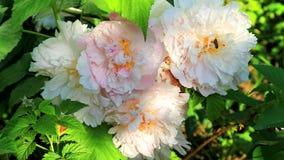 蜂蜜蜂授粉美丽的花 股票视频