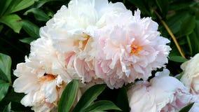 蜂蜜蜂授粉美丽的花 影视素材