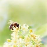 蜂蜜蜂授粉黄色花,秀丽过滤器 免版税库存照片