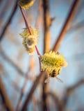 蜂蜜蜂收集在春天草甸的花蜜 免版税库存照片