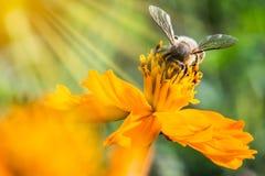 蜂蜜蜂收集花粉的和花蜜从波斯菊开花 免版税库存图片