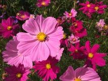 蜂蜜蜂波斯菊花开花 库存图片