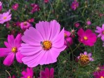 蜂蜜蜂波斯菊花开花 图库摄影