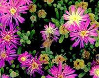 蜂蜜蜂特写镜头在花卉颜色爆炸的 免版税图库摄影