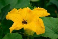 蜂蜜蜂特写镜头在南瓜花的 图库摄影