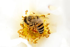 蜂蜜蜂特写镜头在白玫瑰的 免版税库存图片