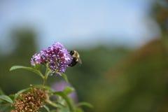 蜂蜜蜂特写镜头,从紫色花的饮用的花蜜 免版税库存图片