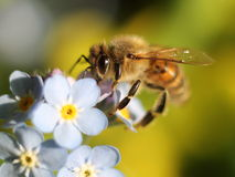 蜂蜜蜂特写镜头 免版税库存照片