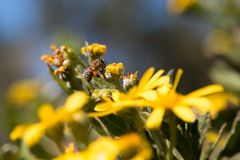 蜂蜜蜂的侧视图坐黄色花 免版税库存照片