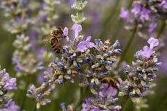 蜂蜜蜂的宏观射击在淡紫色花的在一coudy天 库存照片