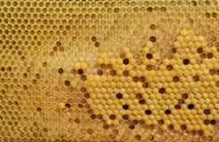 蜂蜜蜂的巢细胞 免版税库存照片