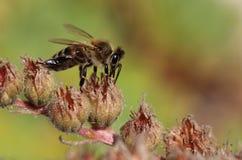 蜂蜜蜂聚集花粉 库存照片