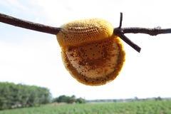 蜂蜜蜂蜂房 图库摄影