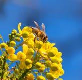 蜂蜜蜂黄色花和蓝天 免版税库存图片