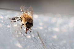 蜂蜜蜂,喝白色表面上的水 图库摄影
