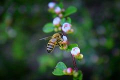 蜂蜜蜂,宏观特写镜头视图,收集花蜜和花粉在是开花植物类我的枸子属植物花开花 免版税库存图片