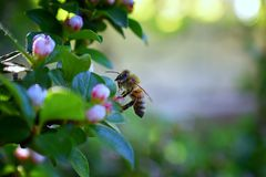 蜂蜜蜂,宏观特写镜头视图,收集花蜜和花粉在是开花植物类我的枸子属植物花开花 库存照片