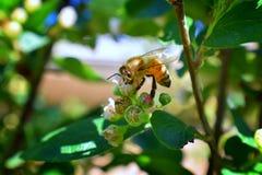 蜂蜜蜂,宏观特写镜头视图,收集花蜜和花粉在是开花植物类我的枸子属植物花开花 免版税图库摄影