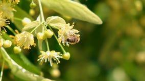 蜂蜜蜂,apis melifera,授粉的开花的树开花,关闭