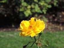 蜂蜜蜂黄色玫瑰 免版税图库摄影