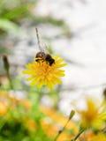 蜂蜜蜂从黄色花的饲料花蜜 免版税库存照片