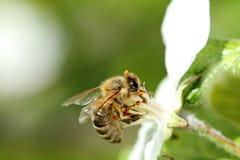 蜂蜜蜂细节  免版税图库摄影