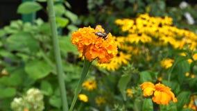 蜂蜜蜂(蜜蜂)喝在花的花蜜 股票录像