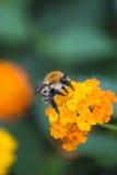 蜂蜜蜂 免版税库存照片