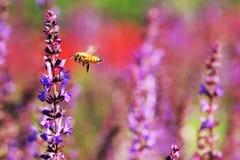 蜂蜜蜂 图库摄影