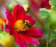蜂蜜蜂(Apis mellifera)在大丽花花 免版税图库摄影