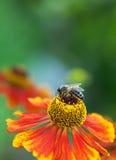 蜂蜜蜂(Apis mellifera)在helenium花 库存图片