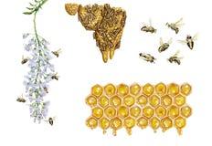 蜂蜜蜂apis mellifera的科学例证 库存照片