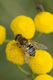 蜂蜜蝇 免版税图库摄影