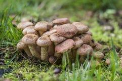 蜂蜜mashrooms 库存图片