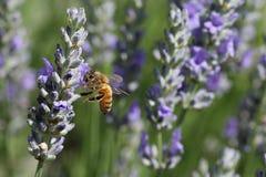 蜂详述蜂蜜查出的宏指令被堆积的非常白色 库存照片
