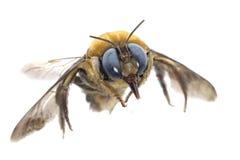 蜂谦逊的昆虫 免版税图库摄影