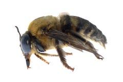 蜂谦逊的昆虫 免版税库存图片