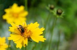 蜂采取在一朵黄色花的蜂蜜 免版税库存图片