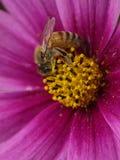 蜂集合花粉 免版税库存图片