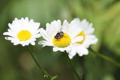 蜂雏菊 库存图片