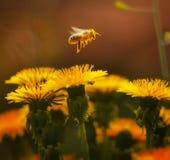 蜂飞行 免版税库存图片