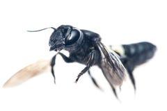 黄蜂飞行 免版税图库摄影