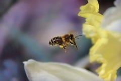 蜂飞行 免版税图库摄影