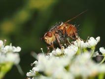 蜂饮用的花蜜 库存照片