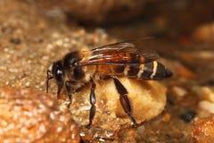 蜂饮用的蜂蜜 免版税库存图片