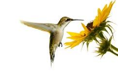 蜂鸟。 图库摄影
