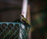 蜂鸟休息 免版税库存图片