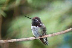 蜂鸟休息 库存图片